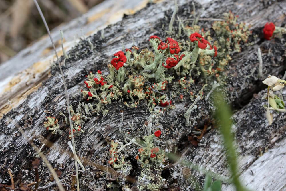 British Soldiers Lichen